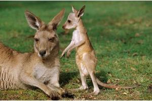 澳洲人民快要被袋鼠打残了......招招致命啊